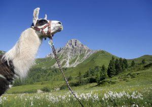 Lama-Trekking